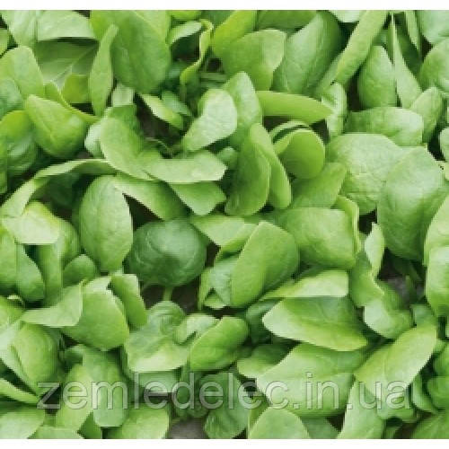 Семена шпината Рембранд F1 50000 сем. шпинат Бейо