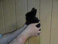 Кролик декоративный, черный бархат
