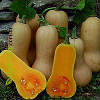 Семена тыквы Арахисовое масло гарбуз 0,5г. Садыба центр