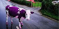 Корова фіолетова, насос американський, фото 1