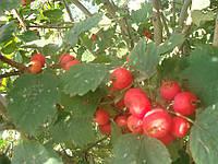 Семена боярышника Китайского, фото 1