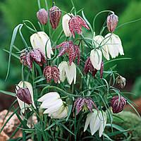 Рябчик (фритиллярия), микс цветов
