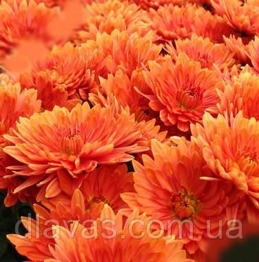 Хризантема черенок  (ранняя) ПАДРЕ ОРАНЖ