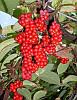 Саженцы лимонника китайского  (Schisandra chinensis)
