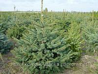 Ель зеленая 1,2 - 3 метра, фото 1