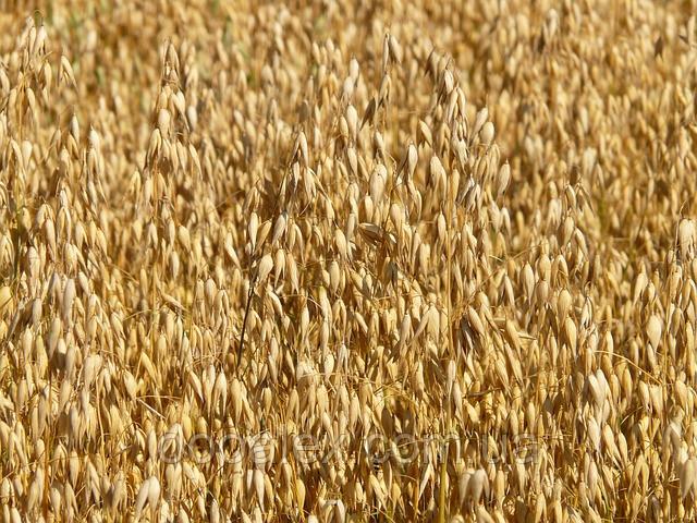 Семена Овес Cпурт