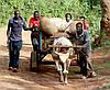 Кава Кенія АВ, фото 2