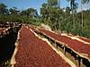 Кава Кенія АВ, фото 4