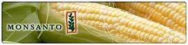 Семена кукурузы Monsanto ( Монсанто )