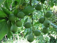 Саженцы грецкого ореха Кочерженко - двухлетние