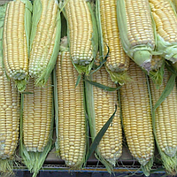 Семена кукурузы Ls-1010 2500 сем. Lark Seeds
