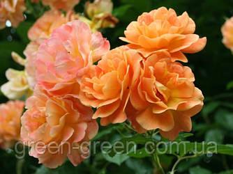 Роза плетистая Westerland (Вестерлэнд), саженец