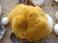 Морские губки Honeycomb и FinaSilk. Отличительные особенности.