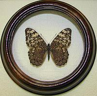 Сувенир - Бабочка в рамке Hamadryas februa. Оригинальный и неповторимый подарок!