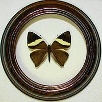Сувенир - Бабочка в рамке Colobura dirce. Оригинальный и неповторимый подарок!