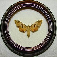 Сувенир - Бабочка в рамке Mimas tiliae. Оригинальный и неповторимый подарок!