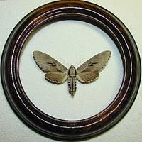 Сувенир - Бабочка в рамке Sphinx pinastri. Оригинальный и неповторимый подарок!