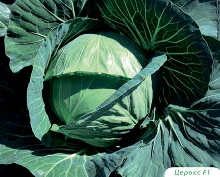 Семена капусты Церокс F1 (Бейо/Bejo), 2500 семян — средне-поздняя (80 дней), белокочанная., фото 2