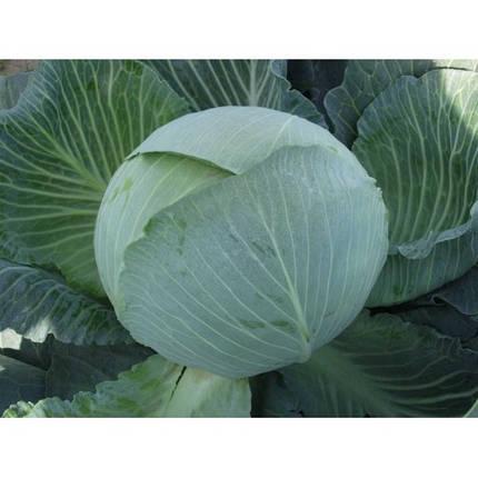Семена капусты Каунтер F1 (Бейо/Bejo), 2500 семян — поздняя (145 дней), для хранения, белокочанная, фото 2