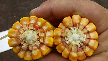 Семена Кукурузы Mv 251 (ФАО 260) Венгрия среднеранняя
