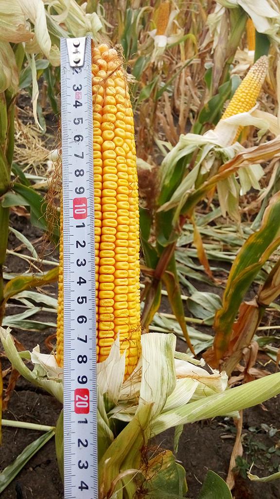 Семена Кукурузы Mv 255 (ФАО 270) Венгрия, Высокоинтенсивная