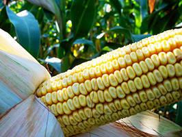 Семена Кукурузы Mv 355 (ФАО 390) Венгрия, Высокоурожайный