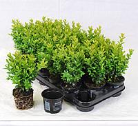 Самшит вечнозеленый -- Buxus sempervirens  P9/H12