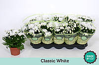 Хризантема Mount Runca белая -- Chrysanthemum Mount Runca White  P12/H25