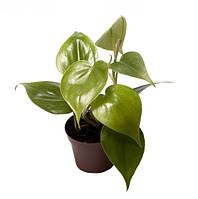 Филодендрон лазящий -- Philodendron scandens  P6/H15