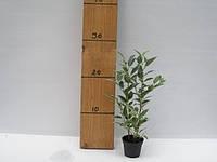 Фикус Бенджамина Нина -- Ficus benjamina Nina  P6/H18