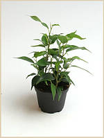 Фикус Бенджамина Пандора -- Ficus benjamina Pandora  P6/H14