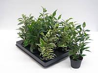 Фикус Бенджамина микс, 3 сорта -- Ficus benjamina mixed 3 srt.  P6/H15