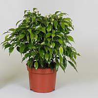 Фикус Бенджамина Green Kinky -- Ficus benjamina Green Kinky  P12/H27
