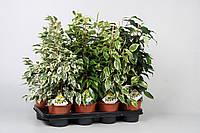 Фикус Бенджамина микс -- Ficus benjamina mixed  P14/H55