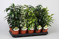 Фикус Бенджамина микс -- Ficus benjamina mixed  P12/H40