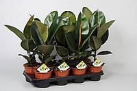 Фикус эластика Робуста -- Ficus elastica Robusta  P14/H40