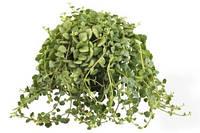 Каланхоэ Блоссфельда -- Kalanchoe leaf  P510/H25