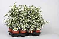 Фикус Бенджамина Twilight -- Ficus benjamina Twilight  P14/H55