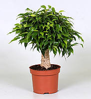 Фикус Бенджамина Green Kinky -- Ficus benjamina Green Kinky  P12/H30