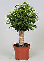 Фикус Бенджамина Natasja -- Ficus benjamina Natasja  P12/H35