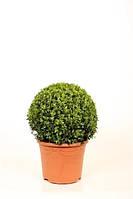 Самшит вечнозеленый -- Buxus sempervirens  P26/H50  2
