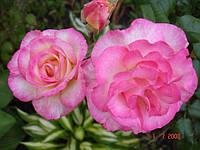 Роза плетистая Шарика Асма (Sharika-Asma), фото 1