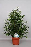 Фикус Бенджамина Natasja -- Ficus benjamina Natasja  P19/H65