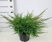 Можжевельник средний Пфитцериана Глаука -- Juniperus x pfitzeriana Pfitzerian Glauca  P23/H30
