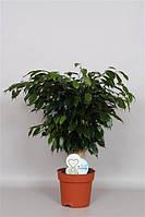 Фикус Бенджамина Даниэль -- Ficus benjamina Danielle  P19/H65