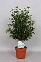 Фикус Бенджамина Natasja -- Ficus benjamina Natasja  P19/H65  1