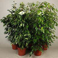 Фикус Бенджамина микс -- Ficus benjamina mixed  P21/H105