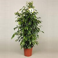 Фикус Бенджамина Анастасия -- Ficus benjamina Anastasia  P21/H105