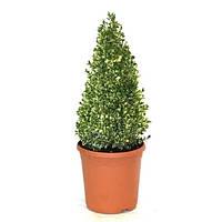 Самшит вечнозеленый пестролистный -- Buxus sempervirens Variegata  P23/H60