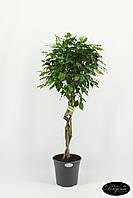 Фикус Бенджамина Экзотика -- Ficus benjamina Exotica  P27/H140